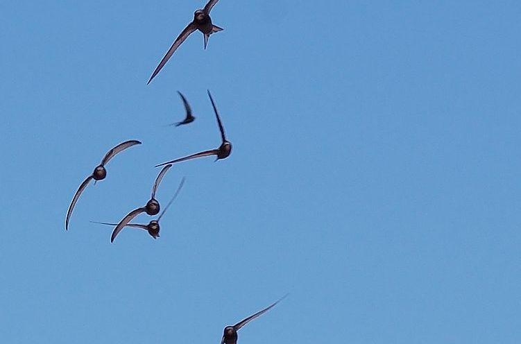 Einige Mauersegler fliegen - im Hintergrund blauer Himmel