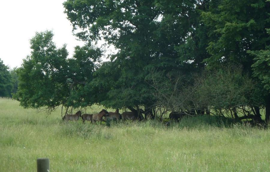 Przewalski-Pferde unter Bäumen auf der Hohen Warte