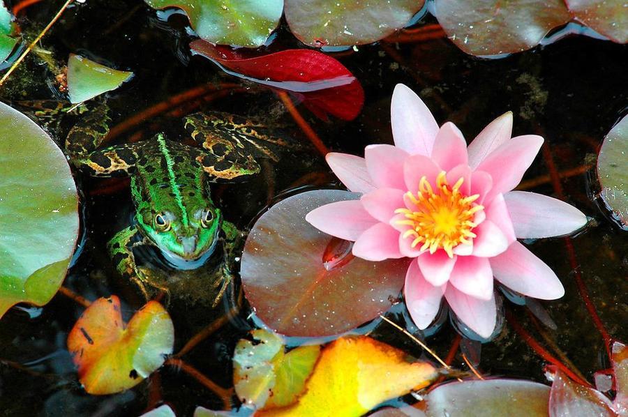 Teich im Botanischen Garten - Nahaufnahme einer Seerose und einem Frosch