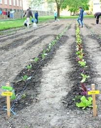 Gemüsebeete in der Nordstadt