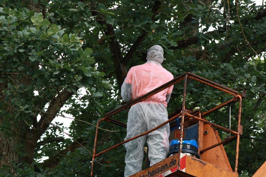 Mitarbeiter des Gartenamts entfernen ein Nest des gefährlichen Eichenprozessionsspinners