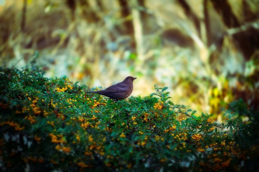 Vogel auf einer Hecke