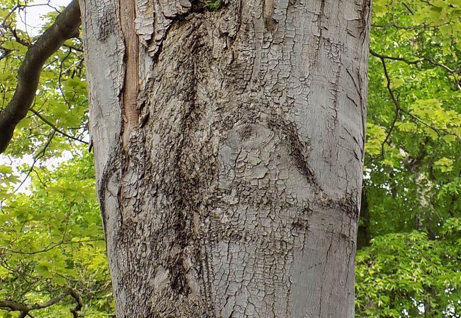 Rußrindenkrankheit an Altbaum abheilend