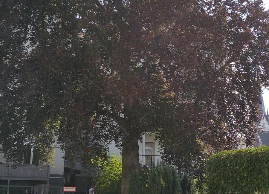 Großer Baum in der Stadt