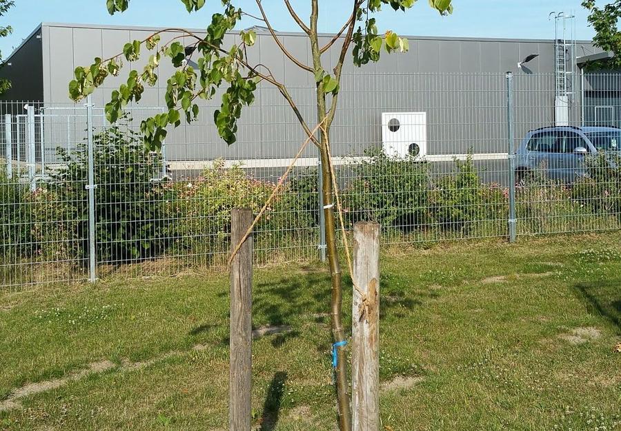 Jungbaum mit Welkeschäden