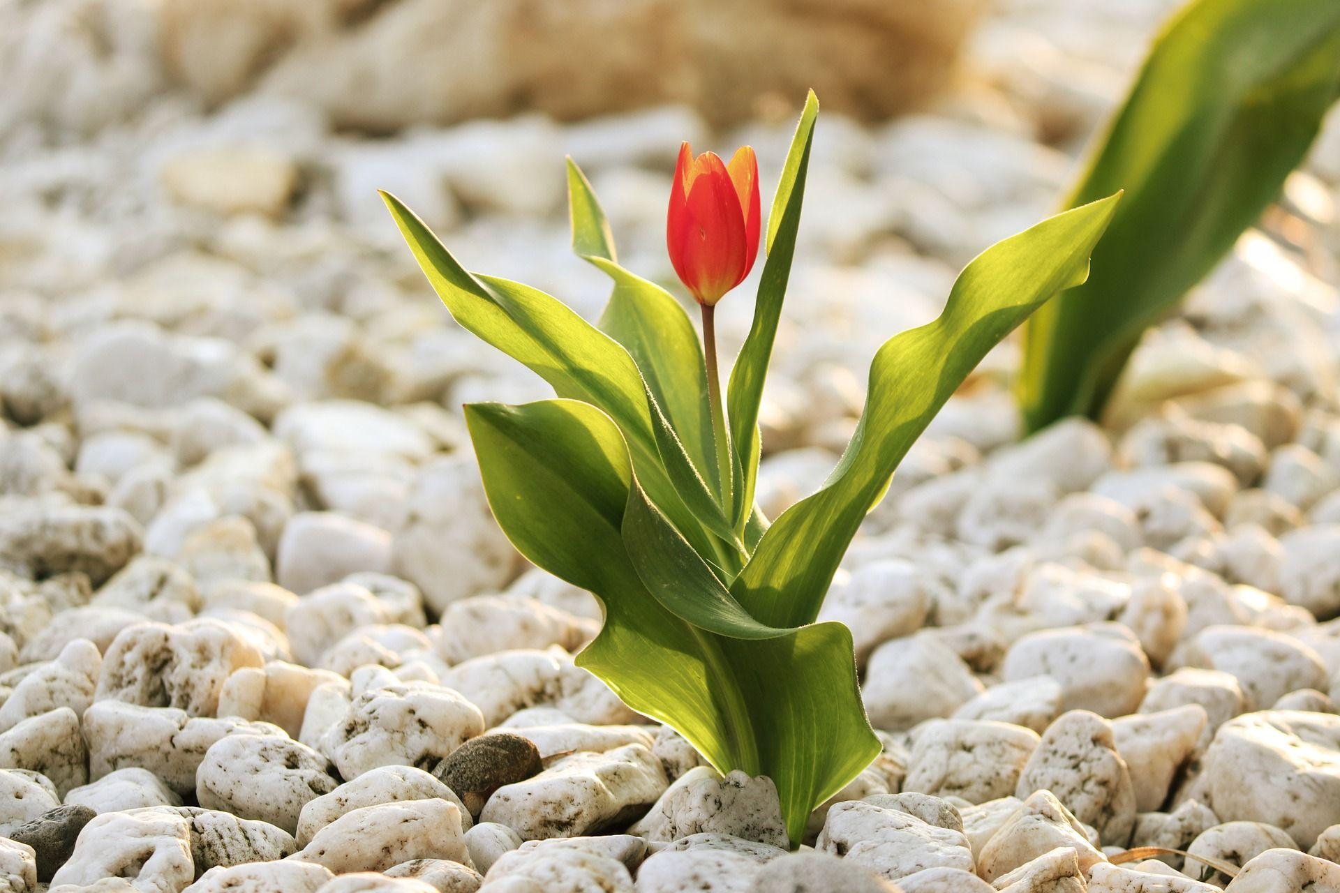 Blume in einem Steingarten