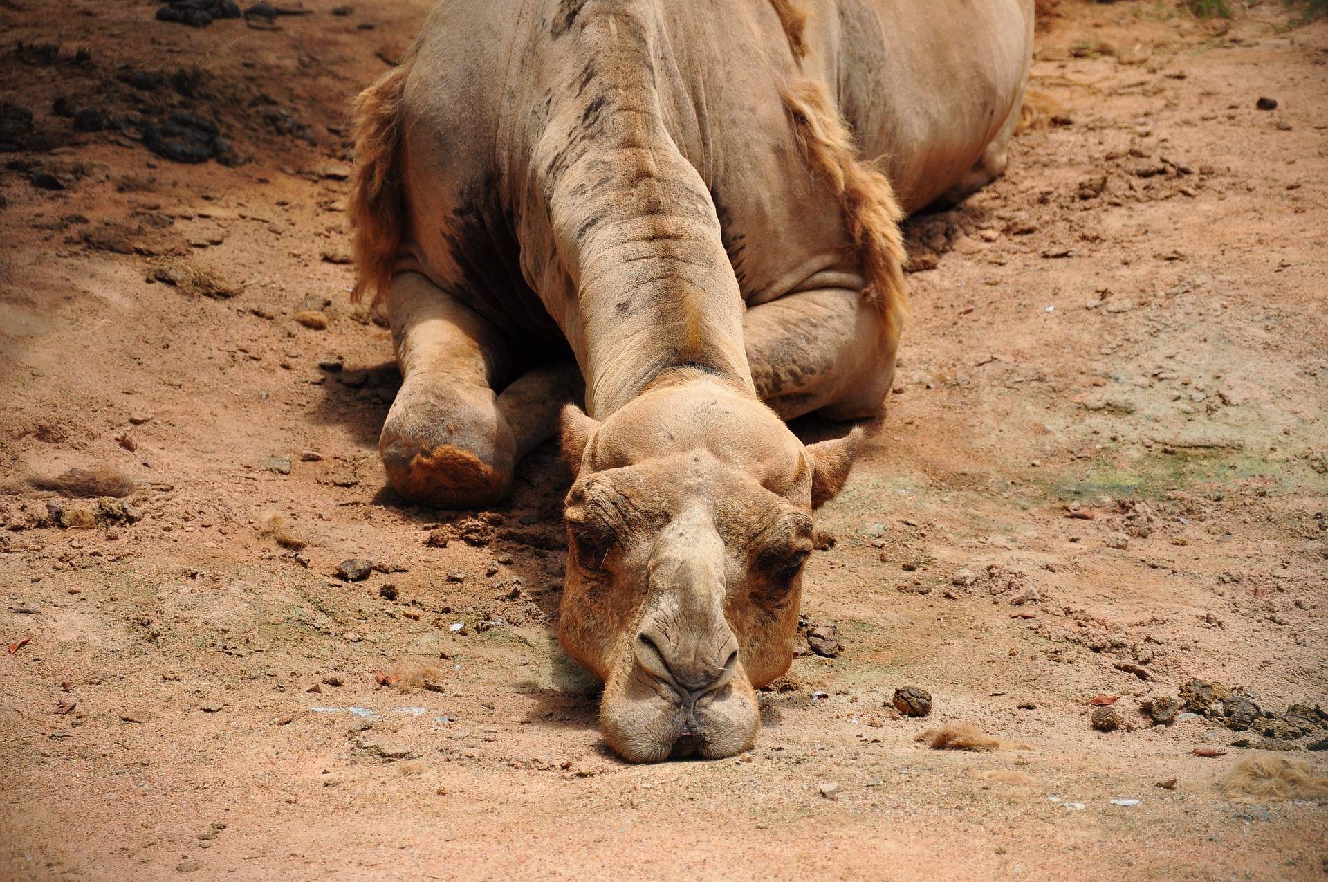 Gelangweiltes Kamel