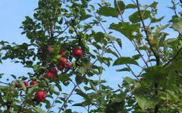 Naturschutzwanderung - Apfelsorten auf dem Judenberg